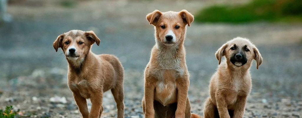 three-puppies-s